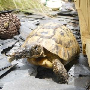 not a slow tortoise